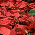 Vánoční hvězda krásně ozdobí - jak si jí užít co nejvíce