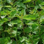 Jak na skvělé přírodní hnojivo z kopřiv
