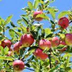 Jak správně sklidit jablka - kdy je vhodná doba